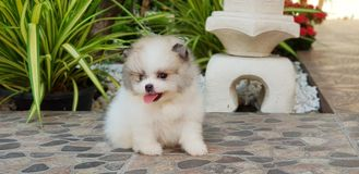 Cute smile parti color pomeranian. Very cute pom Royalty Free Stock Photos