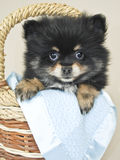 Very Cute Pom Puppy Royalty Free Stock Images