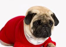 Very cute pug dog in a red New Year`s dress. Looking with sad ey. Very cute pug dog in a red New Year dress. Looking up with sad eyes Stock Photo