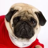Very cute pug dog in a red New Year`s dress. Looking with sad ey. Very cute pug dog in a red New Year dress. Looking with sad eyes Stock Photography