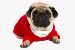 Very cute pug dog in a red New Year`s dress. Looking with sad ey. Very cute pug dog in a red New Year dress. Looking with sad eyes Royalty Free Stock Image