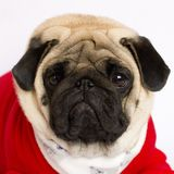 Very cute pug dog in a red New Year`s dress. Looking with sad ey. Very cute pug dog in a red New Year dress. Looking with sad eyes Royalty Free Stock Photo