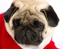 Very cute pug dog in a red New Year`s dress. Looking with sad ey. Very cute sitting pug dog in a red New Year dress. Looking with sad eyes Royalty Free Stock Image