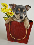 Very Cute Puppy in a bucket. Royalty Free Stock Image