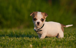 Very cute puppy on a manicured lawn. A very small, very cute mongrel puppy on a manicured lawn in golden light stock images