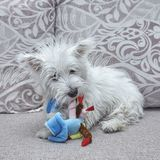 Very cute puppy west highland white terrier playing with toy on the bed stock photo