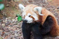 A very cute The red panda, also called the lesser panda, the red. Bear-cat, and the red cat-bear Ailurus fulgens while looking for food in a zoo somewhere in stock image