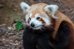 A very cute The red panda, also called the lesser panda, the red. Bear-cat, and the red cat-bear Ailurus fulgens while looking for food in a zoo somewhere in royalty free stock image