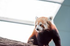 A very cute The red panda, also called the lesser panda, the red. Bear-cat, and the red cat-bear Ailurus fulgens while looking for food in a zoo somewhere in royalty free stock photos