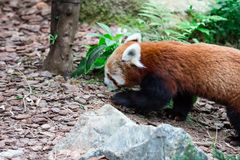 A very cute The red panda, also called the lesser panda, the red. Bear-cat, and the red cat-bear Ailurus fulgens while looking for food in a zoo somewhere in stock photo