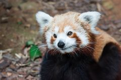 A very cute The red panda, also called the lesser panda, the red. Bear-cat, and the red cat-bear Ailurus fulgens while looking for food in a zoo somewhere in stock photography
