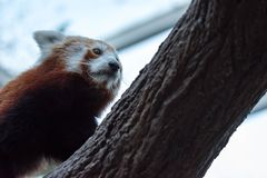A very cute The red panda, also called the lesser panda, the red. Bear-cat, and the red cat-bear Ailurus fulgens while looking for food in a zoo somewhere in stock photos