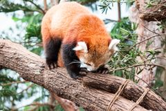 A very cute The red panda, also called the lesser panda, the red. Bear-cat, and the red cat-bear Ailurus fulgens while looking for food in a zoo somewhere in royalty free stock images