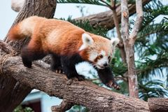 A very cute The red panda, also called the lesser panda, the red. Bear-cat, and the red cat-bear Ailurus fulgens while looking for food in a zoo somewhere in royalty free stock photography
