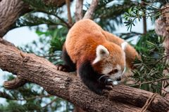 A very cute The red panda, also called the lesser panda, the red. Bear-cat, and the red cat-bear Ailurus fulgens while looking for food in a zoo somewhere in royalty free stock photo