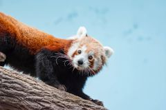 A very cute The red panda, also called the lesser panda, the red. Bear-cat, and the red cat-bear Ailurus fulgens while looking for food in a zoo somewhere in stock images