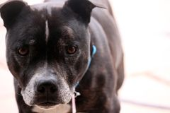 A very cute senior staffordshire bull terrier, staring in to the camera royalty free stock photo