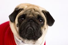 Very cute sitting pug dog in a red New Year`s dress. Looking wit. Very cute sitting pug dog in a red New Year dress. Looking with sad eyes Stock Photos