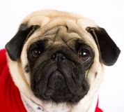 Very cute sitting pug dog in a red New Year`s dress. Looking wit. Very cute sitting pug dog in a red New Year dress. Looking with sad eyes Royalty Free Stock Photos