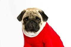 Very cute sitting pug dog in a red New Year`s dress. Looks direc. Very cute sitting pug dog in a red New Year dress. Looks directly into the camera with sad eyes Stock Photography