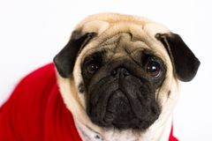 Very cute sitting pug dog in a red New Year`s dress. Looking wit. Very cute sitting pug dog in a red New Year dress. Looking with sad eyes Stock Image