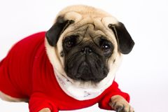 Very cute sitting pug dog in a red New Year`s dress. Looking wit. Very cute sitting pug dog in a red New Year dress. Looking with sad eyes Stock Photo