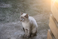 Very cute and small cat with blue eyes. Royalty Free Stock Photo