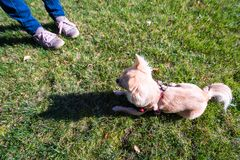 Very cute small dog chihuahua lying on the grass. Funny looking, wide angle lens Stock Photography