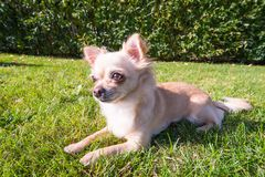 Very cute small dog chihuahua lying on the grass. Funny looking, wide angle lens Royalty Free Stock Photo