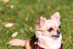 Very cute small dog chihuahua lying on the grass. Portrait of happy puppy Stock Photography