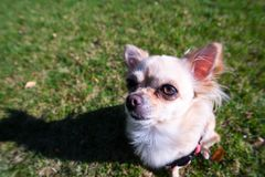 Very cute small dog chihuahua sitting on the grass. Funny looking puppy, wide angle lens Stock Image