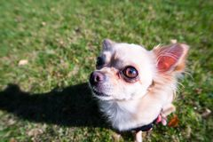 Very cute small dog chihuahua sitting on the grass. Funny looking puppy, wide angle lens Royalty Free Stock Photography