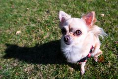 Very cute small dog chihuahua sitting on the grass. Funny looking puppy, wide angle lens Royalty Free Stock Photo