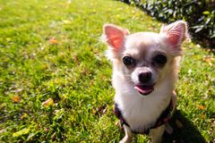 Very cute small dog chihuahua sitting on the grass. Funny looking puppy, wide angle lens Stock Photography