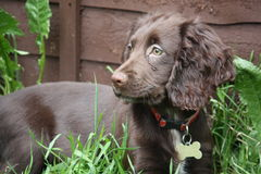 A very cute small liver working cocker spaniel pet gundog Royalty Free Stock Images