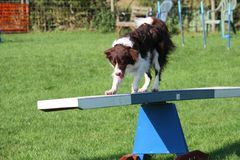 Very cute springer cross collie dog on agility equipment Stock Photo