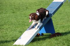 Very cute springer cross collie dog on agility equipment Stock Images