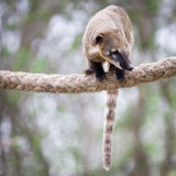 Very cute White-nosed Coati Stock Photo
