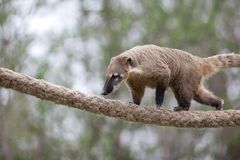 Very cute White-nosed Coati Stock Images