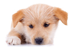Very cute yellow puppy Stock Image