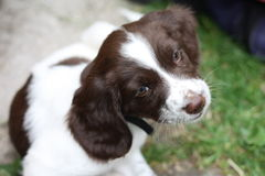 Very cute young liver and white working type english springer sp Royalty Free Stock Images