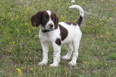 Very cute young liver and white working type english springer sp Stock Images