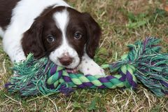 A very cute young  liver and white working type english springer spaniel pet gundog puppy Royalty Free Stock Photography