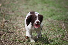 A very cute young liver and white working type english springer spaniel pet gundog puppy running Stock Photo