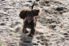 A very cute young liver working type cocker spaniel puppy running Stock Photos
