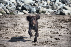 A very cute young liver working type cocker spaniel puppy running Royalty Free Stock Images