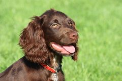 A very cute young small chocolate liver working type cocker spanie Stock Photography