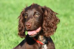 A very cute young small chocolate liver working type cocker spaniel Stock Photography