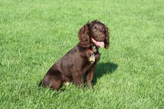 Very cute young small chocolate liver working type cocker spaniel pet gundog Royalty Free Stock Image