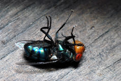Very Dead Fly. Upturned and very dead photo of a blue bottle blowfly Stock Images